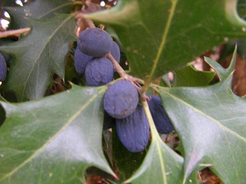 ヒイラギ 初夏 黒紫 楕円形