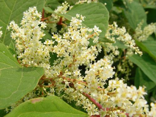 イタドリ 夏~秋 極小さな白い花