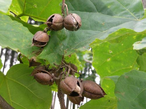 キリ 秋 茶褐色の鈴のような実 熟すと割れて中から翼のある種子が出てくる