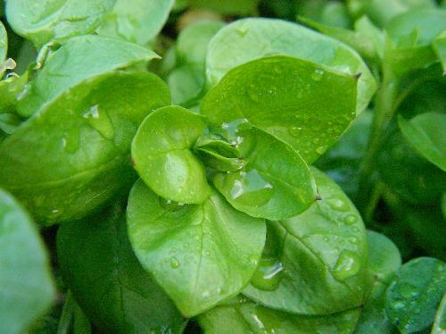 ウシハコベ 対生 広卵形 全縁 成長した個体では葉柄はない