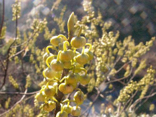 アオモジ 晩冬~初春 白黄緑の実のような丸いつぼみ
