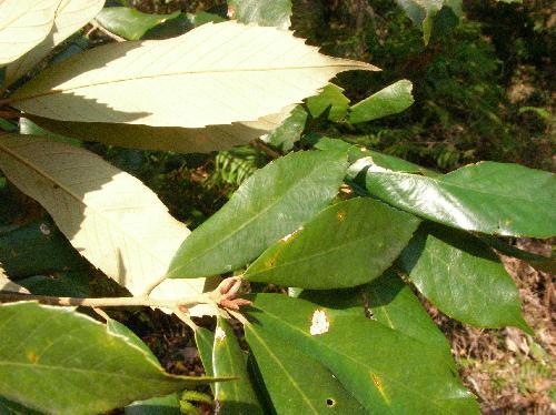 イチイガシ 葉は互生し倒卵形で先半分には鋭い鋸歯がある