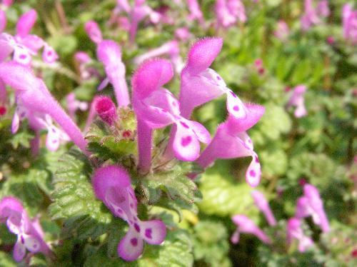 ホトケノザ 春に赤紫の花をつける