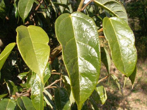 イタビカズラ 葉は長卵形で全縁、互生