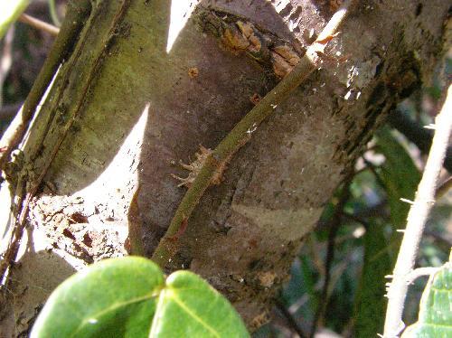 イタビカズラ 茎から出た付着根で張り付く