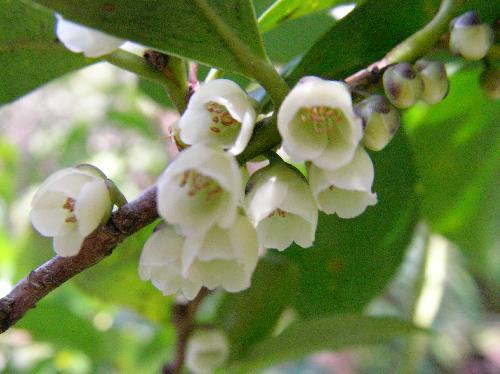 ヒサカキ 晩冬~初春 白い花