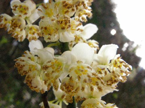 アオモジ 初春 小さな白黄色の花