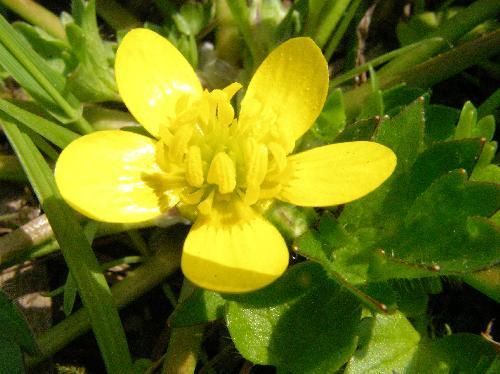 トゲミノキツネノボタン 春 黄色い花