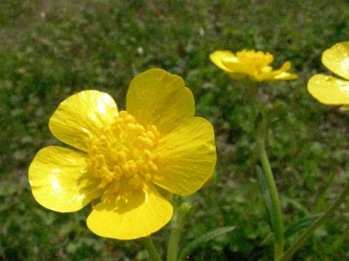 ウマノアシガタ 春 光沢のある黄色の花