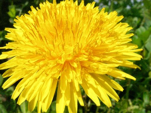 セイヨウタンポポ 晩冬~春 黄色 花弁が多く豪華