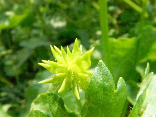 トゲミノキツネノボタン 春 茶 扁平 側面に棘状の突起がある種子