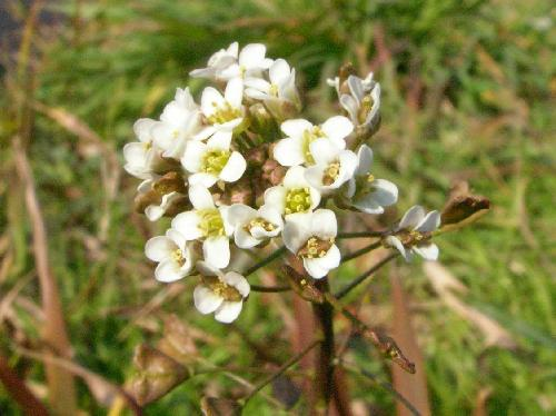 ナズナ 春 小さな白い花
