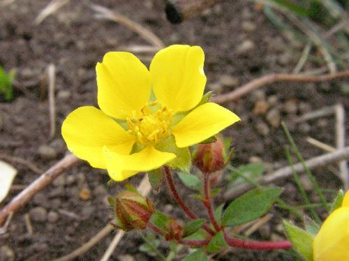 キジムシロ 春 黄色い花