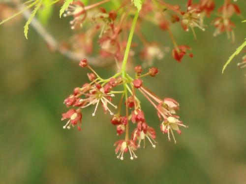 イロハカエデ 春 極小さな白い花 ガク片は赤紫