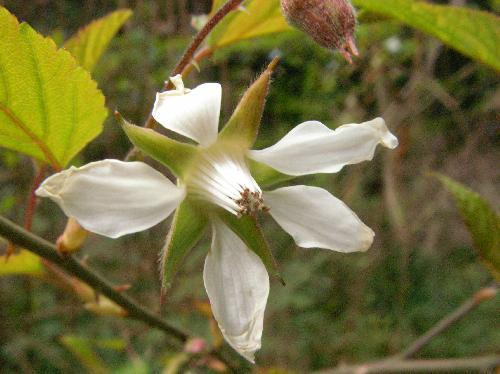 ビロードイチゴ 春 白い花