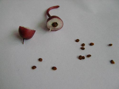 ツルリンドウ 赤い実を割ると茶褐色で扁平な丸い種子が出てくる 果肉はスポンジ状で白い