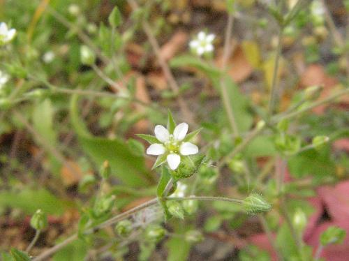 ノミノツヅリ 春 極小さな白い花