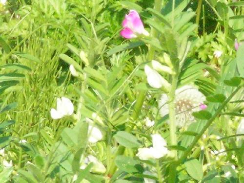 シロバナヤハズエンドウ 春 白い花