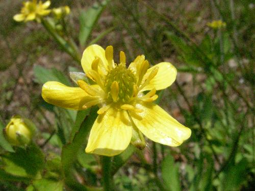キツネノボタン 春~夏 黄色い花