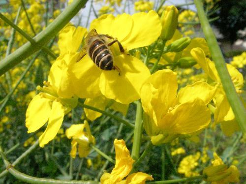 アブラナ 初春 黄色い4弁花