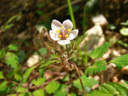 サバノオ 晩春 紫色の筋の入った白い花