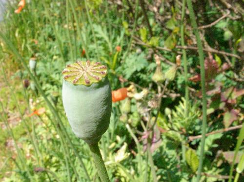 ナガミヒナゲシ 初夏 茶 楕円 熟すとサヤと上フタに隙間が出来て小さな種子が多数こぼれ落ちる