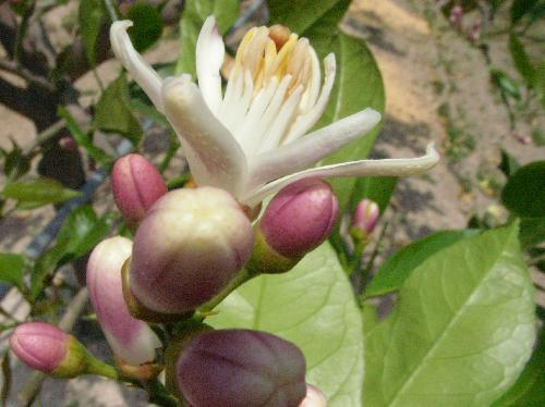 レモン 晩春 白い花 裏は紫