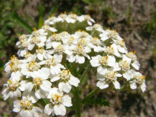 セイヨウノコギリソウ 晩春に小さな白い花