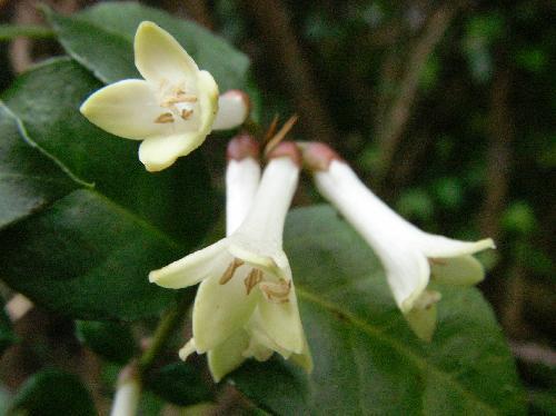 オオアリドオシ 晩春 小さな白い花 先端は4裂