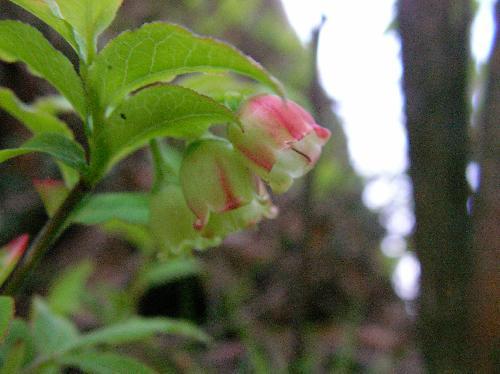 ウスノキ 晩春 赤みを帯びた小さな白い花