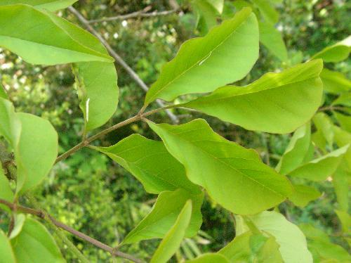 マルバアオダモ 羽状複葉 小葉は全縁 倒卵形 対生