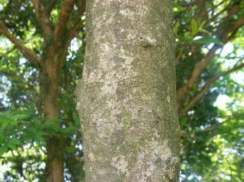 マルバアオダモ 樹皮は灰褐色