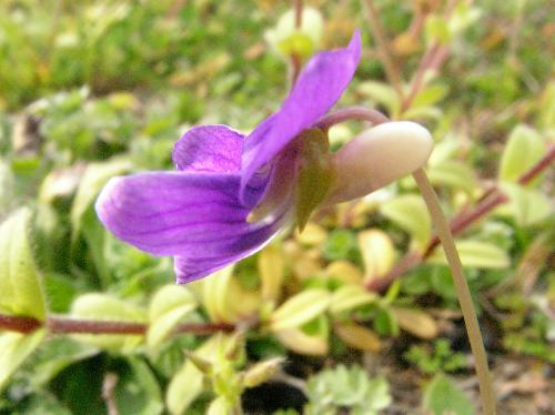 ヒメスミレ 春 紫色 距は丸く白っぽい