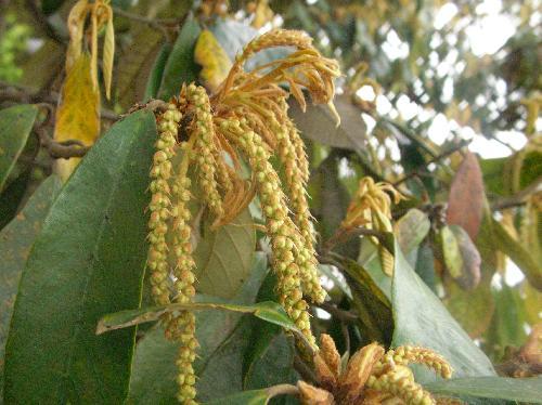 イチイガシ 晩春 穂状の黄緑の花
