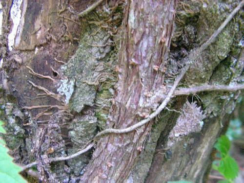 イワガラミ 樹皮は赤茶褐色 付着根で岩や他の木にしがみつく