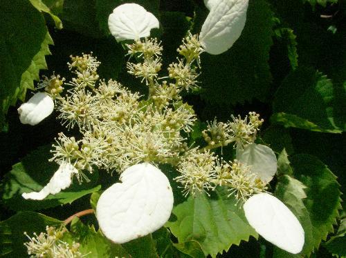 イワガラミ 晩春~初夏 白い花