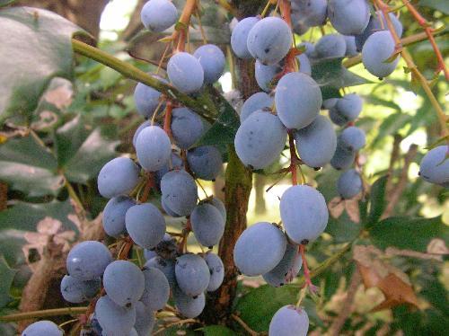 ヒイラギナンテン 初夏 楕円形 白子をふいた青紫の実