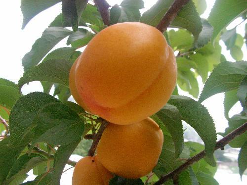 アンズ 初夏 黄色いウメに似た果実