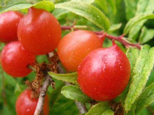 ニワウメ 初夏 赤く熟す球形の実