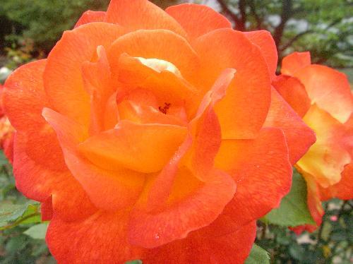 バラ 初夏 橙