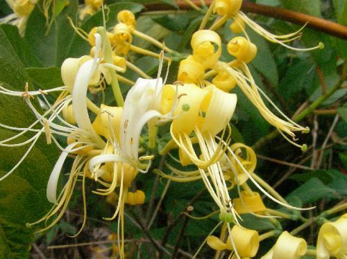 キダチニンドウ 初夏 細長くて白から黄色に変色する