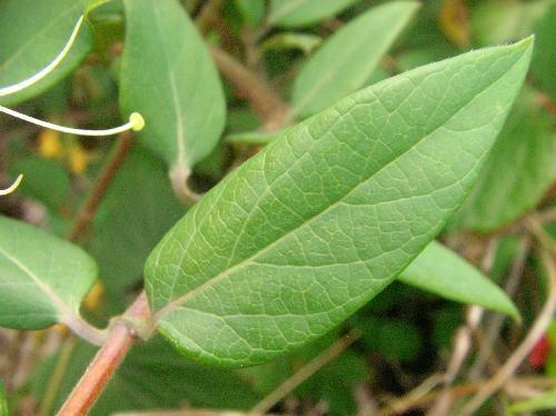キダチニンドウ 長卵形 対生 全縁