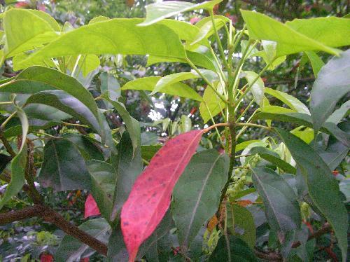 コバンモチ 古い葉は花期に赤く紅葉
