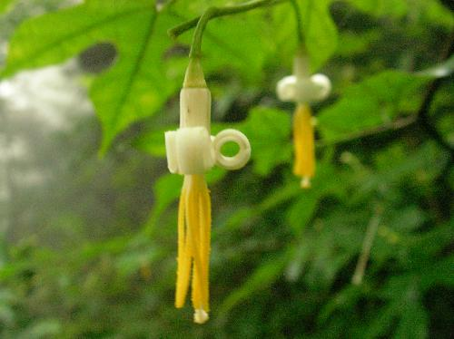 モミジウリノキ 初夏 細長く白い花、黄色い葯 花弁は巻き上がる