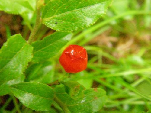 ウスノキ 夏 小さくて赤く熟す 先端が臼のようにへこんでいる 5箇所角張っている
