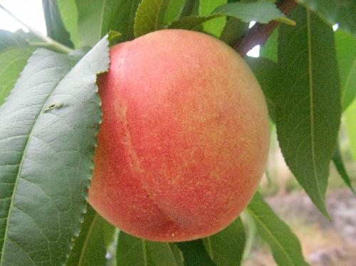 モモ 夏 水分が多くて甘いピンクで球形の果実