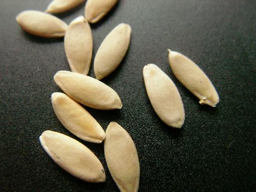 キュウリ 長楕円形の白い種子