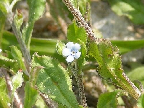 ハナイバナ 晩冬春夏秋 極小さい水色の花