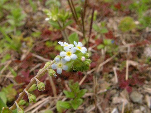キュウリグサ 春 水色 花の中央は黄色