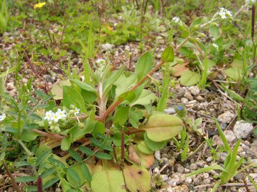 キュウリグサ 楕円形互生単葉 根生葉は卵形、長い葉柄がある